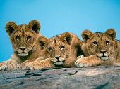 illustration of three beautiful cute little lions.They are resting poster