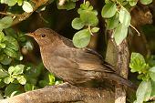 Portrait of a female Blackbird peering from a hedge poster