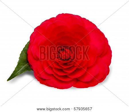 Red Camellia Flower on a White Background