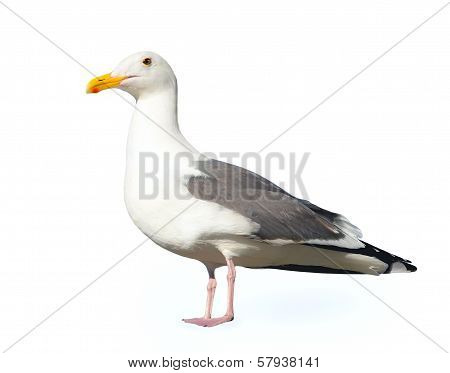 White Seagull Isolated on a White Background