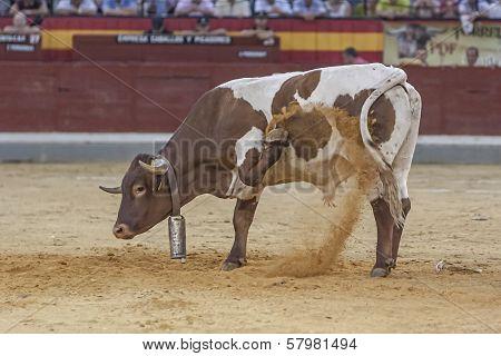 Halter With Cowbell Digging Into The Sand Of The Plaza De Toros De Jaen Or Also Called Coso De La Al