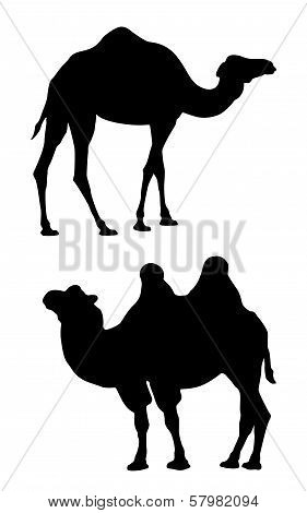 Two camels on a white background