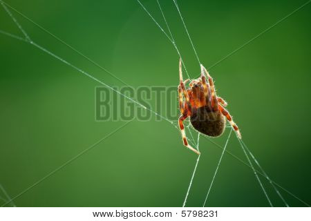 A Barn Spider and her web against a vibrant green background poster