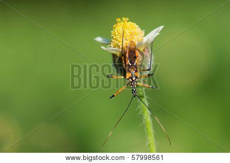 Flower Assassin Bug Waiting For Prey