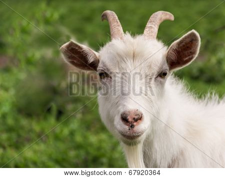 White Goat Closeup