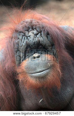 Face Of Bornean Orangutan
