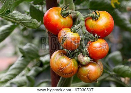 branch of illness tomato