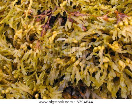 Fucus is a genus of brown alga in the Class Phaeophyceae poster