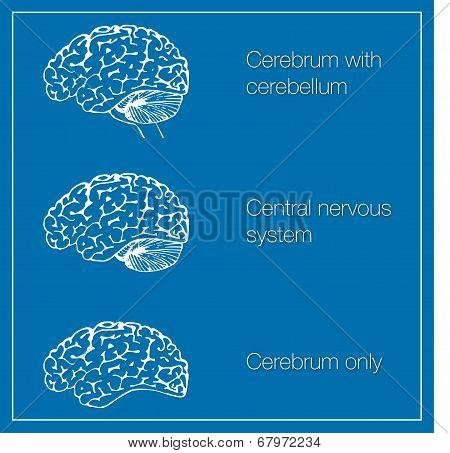 Illustrations of parts of central nervous system