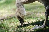 Close Up of a Gosling Snacking on Grass poster