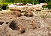 The view of group of cute prairie dogs poster