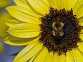 Yellow Sunflower with a bumblebee in its center poster