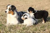 Beautiful Australian Shepherd Dog With Its Puppies