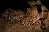 Hungry leopard eat a dead prey in tree at night poster