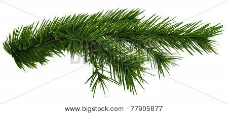 Christmas tree fir branch