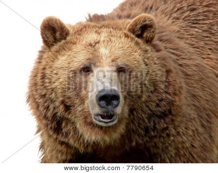Grizzly Close-up Isolated On White