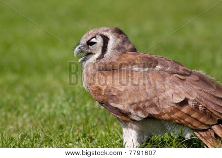 Owl Sitting In The Grass