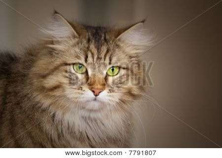 Siberian Cat Looking Into Distance