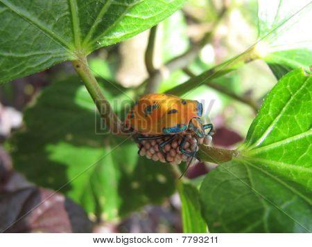 Harlequin Beetle Sitting on Eggs.