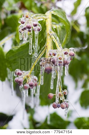Ice Covering Berries