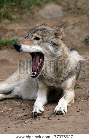 Eurasian wolf (Canis lupus lupus), also known as the Middle Russian forest wolf.