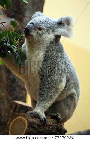 Koala (Phascolarctos cinereus) eating eucalyptus leaves.