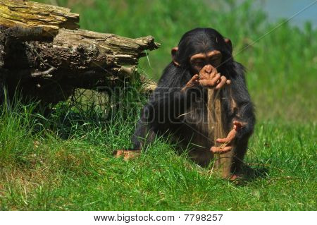 Baby Chimp Playing With Sand