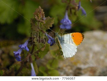 Orange Tip Butterfly - Anthocharis cardamines