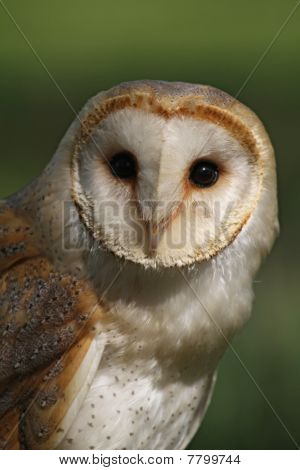 The heart shaped, white-disked face of the common Barn Owl Bird Of Prey poster