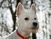 White west highland terrier dog close up in front of white background poster