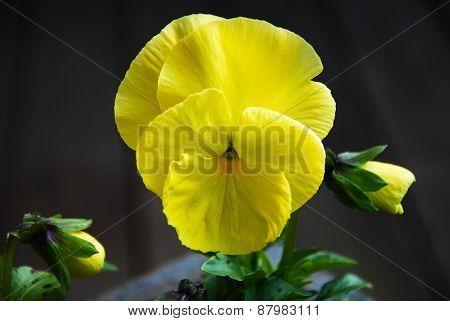 Yellow Pansy Closeup
