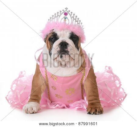 spoiled dog - english bulldog dressed up like a princess on white