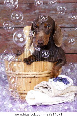 miniature dachshund  in wooden wash basin