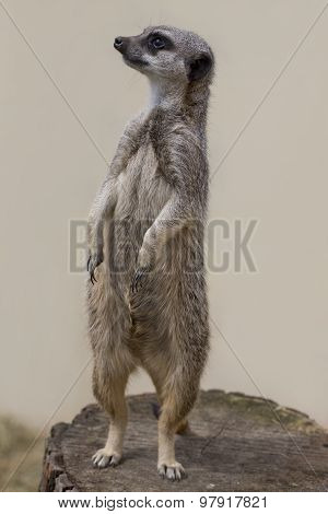 Standing Meercat Facing Left