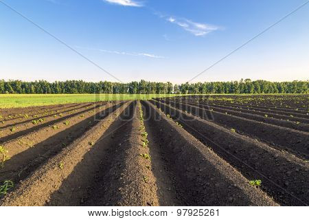 Potatoes plantation with a sunset light.