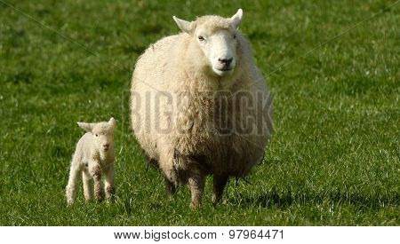 Mother Sheep And Her Lamb Looks At The Camera