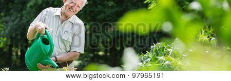 Elderly Gardener Watering Bushes