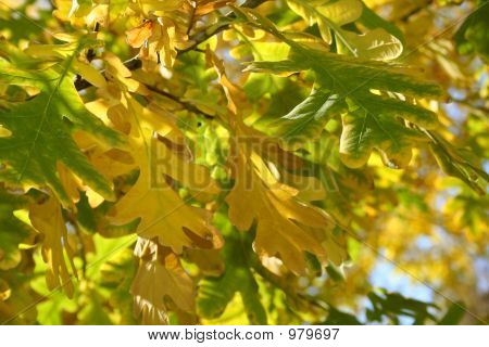 Some Autumn Leaves Of An Oak On A Branch Of A Tree