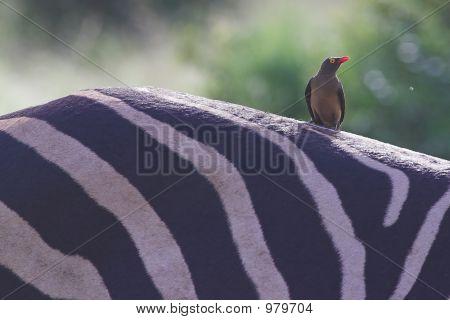 Redbilled Oxpecker On Zebra