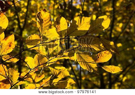 Tree with yellow leaves in a forest on a sunny autumn day