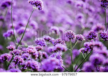 Purple Flower In Chiangmai Thailand