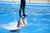 Dolphinarium show. Trainer riding on two dolphins poster