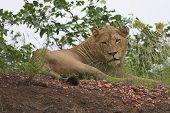 young lion letaba kruger national park south africa poster