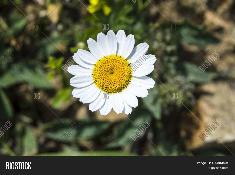 White Yellow Daisies Image Photo Free Trial Bigstock