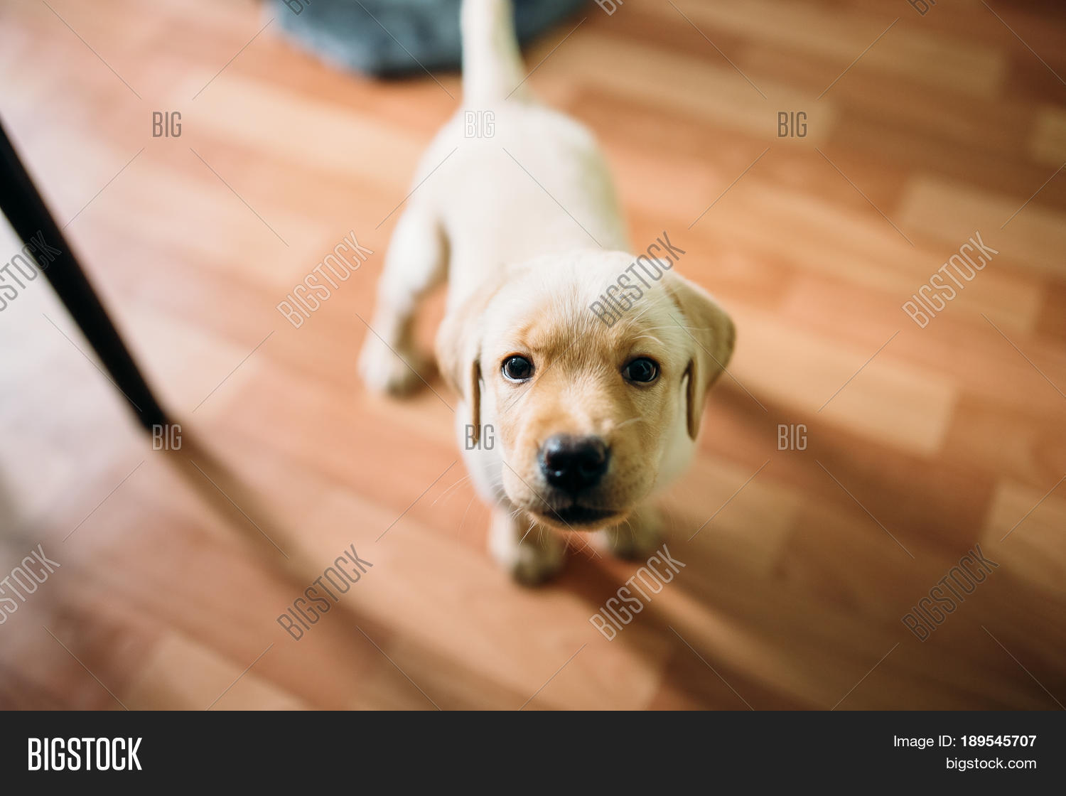 A Puppy Of Labrador Retriever And Golden Plays At Home Concept Dog