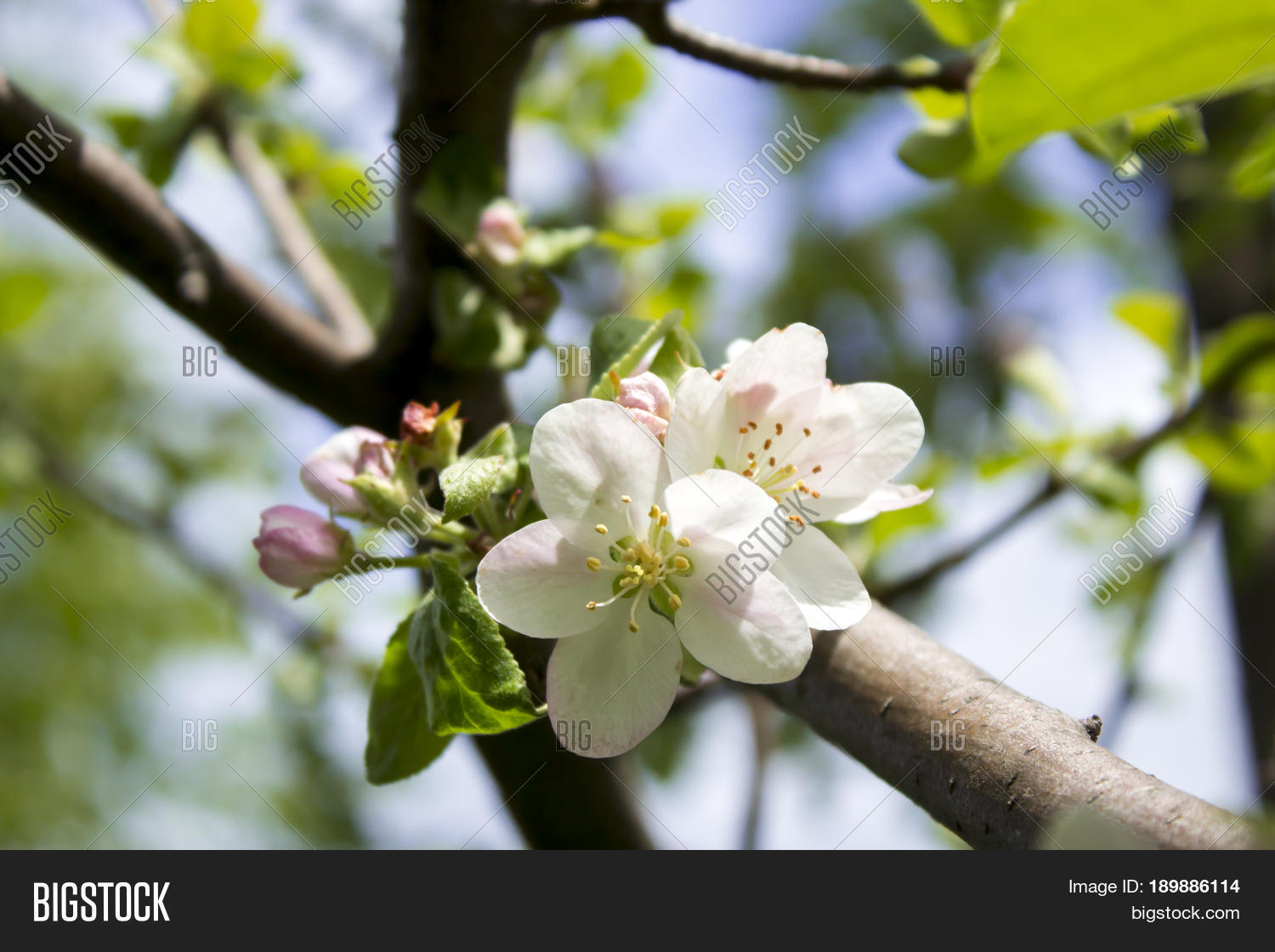 Apple trees blooming image photo free trial bigstock the apple trees are blooming white flowers apple flowers are blooming in sky background mightylinksfo