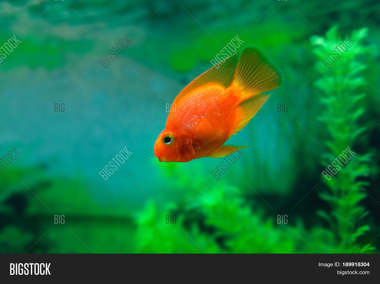 Red Blood Parrot Cichlid Aquarium Image & Photo | Bigstock