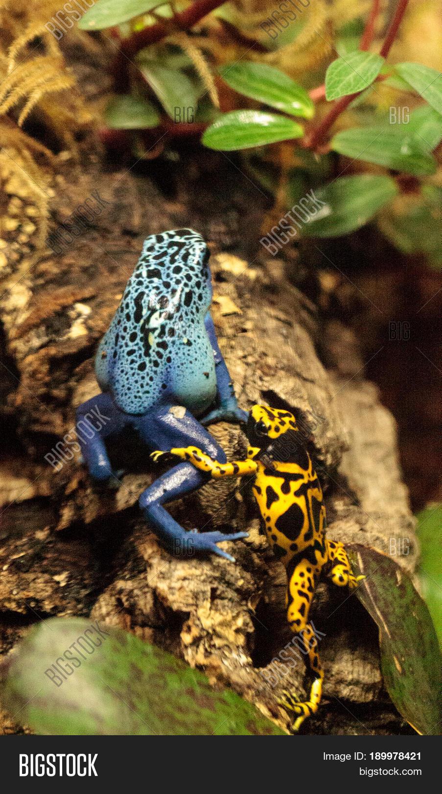 Blue Poison Dart Frog Image Photo Free Trial Bigstock