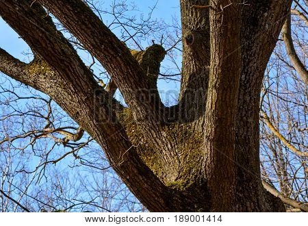 Branching of a large old tree with moss