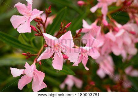Pink oleander flowers on bush close up